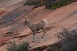 Z81 Desert Bighorn Sheep